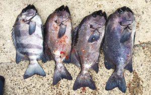 冬の石鯛釣果(1月31日)