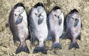 寒グロ良型釣果